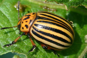 колорадский жук